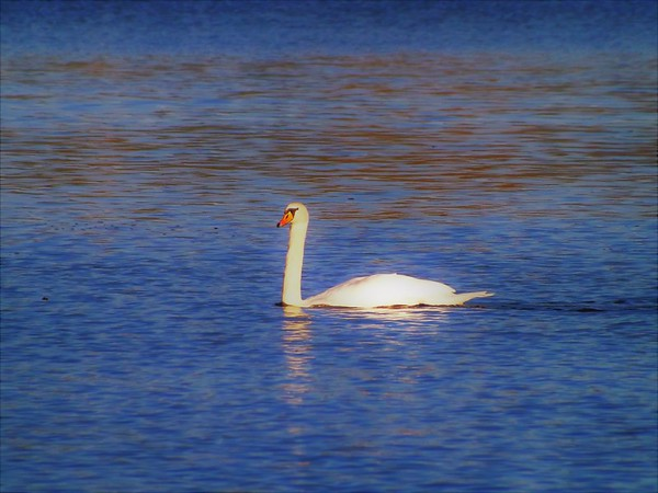 I found a swan on Shadyside Lake.<br /> <br /> Photographer's Name: J.R. Rosencrans<br /> Photographer's City and State: Alexandria, Ind.