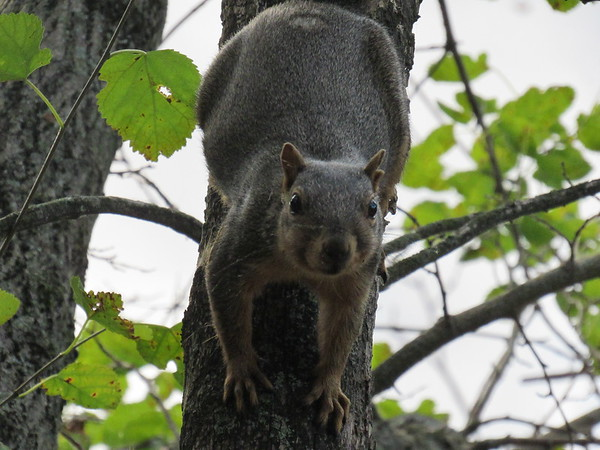 A squirrel descending from a tree at Shadyside Lake.<br /> <br /> Photographer's Name: Harry Van Noy<br /> Photographer's City and State: Lafayette Township, Ind.