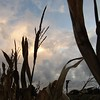 Mid-October sky, behind a field of corn stalks.<br /> <br /> Photographer's Name: Harry Van Noy<br /> Photographer's City and State: Lafayette Township, Ind.