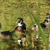 A family of wood ducks on the pond.<br /> <br /> Photographer's Name: Sharon Markle<br /> Photographer's City and State: Markleville, Ind.
