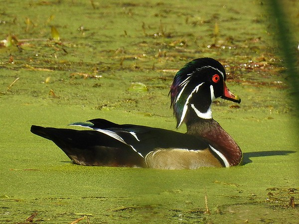 A male wood duck paying a visit to the pond.<br /> <br /> Photographer's Name: Sharon Markle<br /> Photographer's City and State: Markleville, Ind.