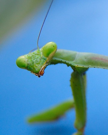 A praying mantis.<br /> <br /> Photographer's Name: Ron Crider<br /> Photographer's City and State: Anderson, Ind.