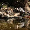 A heron in White River at Mounds Park is 'working' the shoreline looking for a meal.<br /> <br /> Photographer's Name: Jerry Byard<br /> Photographer's City and State: Anderson, Ind.