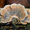 Turkey Tail Fungus on a log at Fox Island County Park in Ft. Wayne.<br /> <br /> Photographer's Name: Jerry Byard<br /> Photographer's City and State: Anderson, Ind.