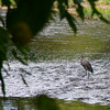 A heron in the shallows at Mounds Park looking for a meal.<br /> <br /> Photographer's Name: Jerry Byard<br /> Photographer's City and State: Anderson, Ind.