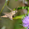 A white lined sphinx moth, taken at Summit Lake.<br /> <br /> Photographer's Name: Greg Tompkins<br /> Photographer's City and State: Anderson, Ind.