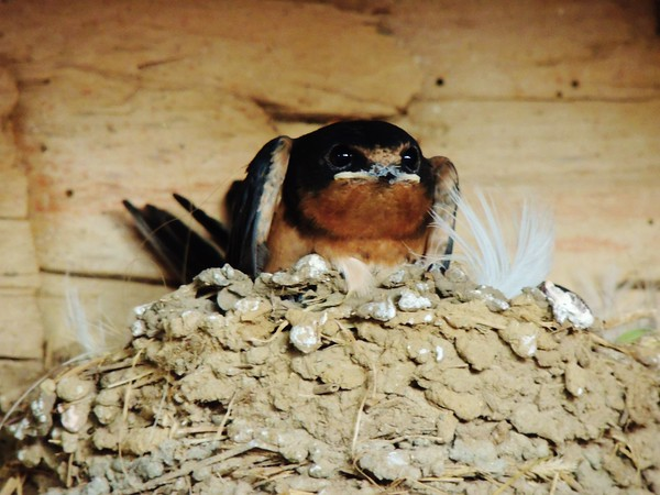 A teenage barn swallow ready to fly from Mike Hart and Susan Markle's llama barn in Pendleton.<br /> <br /> Photographer's Name: Sharon Markle<br /> Photographer's City and State: Markleville, Ind.