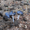 """Signs of fall:"" toad stools in the field at my farm in Richland Township.<br /> <br /> Photographer's Name: J.R. Rosencrrans<br /> Photographer's City and State: Alexandria, Ind."
