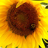 A bumblebee visiting a sunflower in Elwood.<br /> <br /> Photographer's Name: Michelle Estelle<br /> Photographer's City and State: Marion, Ind.