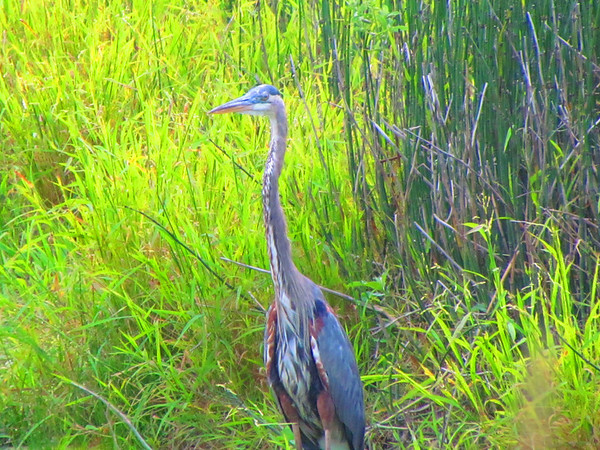 A blue heron on the south side of Anderson.<br /> <br /> Photographer's Name: Brian Fox<br /> Photographer's City and State: Anderson, Ind.