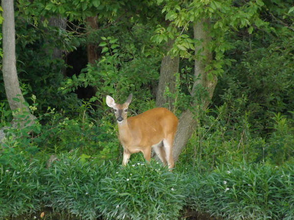 """Behind my house in Richland Township: my """"back yard buddy.""""<br /> <br /> Photographer's Name: J.R. Rosencrans<br /> Photographer's City and State: Alexandria, Ind."""