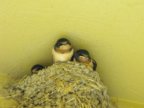 """""""Barn Swallows,"""" at my farm in Richland Township.<br /> <br /> Photographer's Name: J.R. Rosencrans<br /> Photographer's City and State: Alexandria, Ind."""