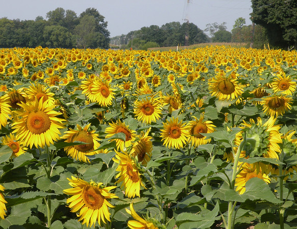 A sunny end to summer: Sunflowers at the Foist family farm in Pendleton.<br /> <br /> Photographer's Name: Tamara Pringle<br /> Photographer's City and State: Pendleton, Ind.