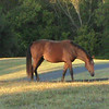 Our neighbor's horse grazing for his breakfast.<br /> <br /> Photographer's Name: Bill Creel<br /> Photographer's City and State: Pendleton, Ind.