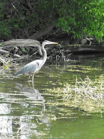 """Killbuck Water Life...""taken at Killbuck Creek.<br /> <br /> Photographer's Name: J.R. Rosencrans<br /> Photographer's City and State: Alexandria, Ind."