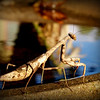 A praying mantis on a birdbath<br /> <br /> Photographer's Name: Debra Howell<br /> Photographer's City and State: Pendleton, Ind.