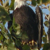 A bald eagle visits Killbuck Lake.<br /> <br /> Photographer's Name: Phil Hallenbeck<br /> Photographer's City and State: Anderson, Ind.