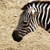 A zebra at the Indianapolis Zoo.<br /> <br /> Photographer's Name: Morgan Elbert<br /> Photographer's City and State: Alexandria, Ind.