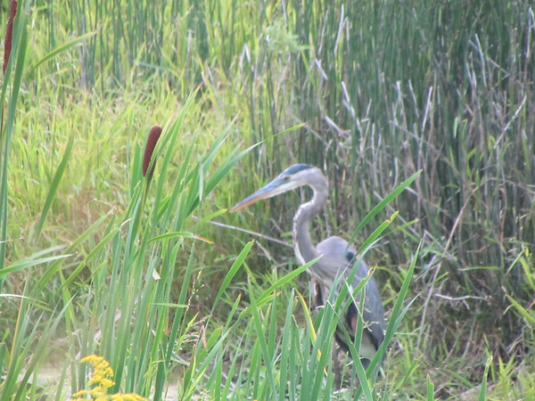 A blue heron in the weeds in South Anderson.<br /> <br /> Photographer's Name: Brian Fox<br /> Photographer's City and State: Anderson, Ind.