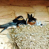 Young barn swallows ready to leave the nest from Mike Hart and Susan Markle's llama barn.<br /> <br /> Photographer's Name: Sharon Markle<br /> Photographer's City and State: Markleville, Ind.