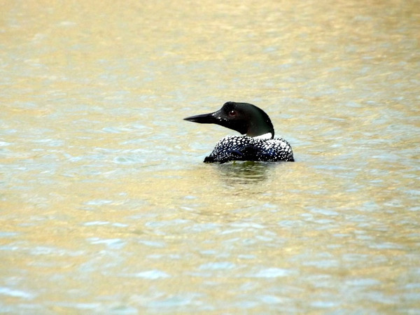 Loon on Shadyside Lake.<br /> <br /> Photographer's Name: J.R. Rosencrans<br /> Photographer's City and State: Alexandria, Ind.