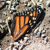 A monarch butterfly wing laying on the ground.<br /> <br /> Photographer's Name: Brian Fox<br /> Photographer's City and State: Anderson, Ind.