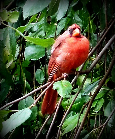 Looking out my kitchen window, I spied an angry cardinal in the weeping crab tree.<br /> <br /> Photographer's Name: Debra Howell<br /> Photographer's City and State: Pendleton, Ind.