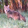 A coyote in northern Madison County.<br /> <br /> Photographer's Name: Brian Fox<br /> Photographer's City and State: Anderson, Ind.