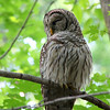 This Barred Owl at Mounds Park seemed to be a little sleepy as I visited him on the first day of September.<br /> <br /> Photographer's Name: Jerry Byard<br /> Photographer's City and State: Anderson, Ind.