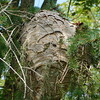 A giant hornets' nest.<br /> <br /> Photographer's Name: Kenneth Ragle<br /> Photographer's City and State: Anderson, Ind.