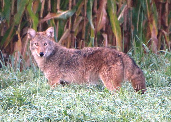 A coyote in northern Madison County<br /> <br /> Photographer's Name: Brian Fox<br /> Photographer's City and State: Anderson, Ind.
