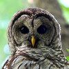 I was fortunate to get a close-up view of a barred owl at Mounds Park while hiking.<br /> <br /> Photographer's Name: Jerry Byard<br /> Photographer's City and State: Anderson, Ind.
