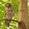 """This photo of a barred owl at Mounds Park shows that birds and animals are subject to the """"red-eye"""" effect from a flash.<br /> <br /> Photographer's Name: Jerry Byard<br /> Photographer's City and State: Anderson, Ind."""