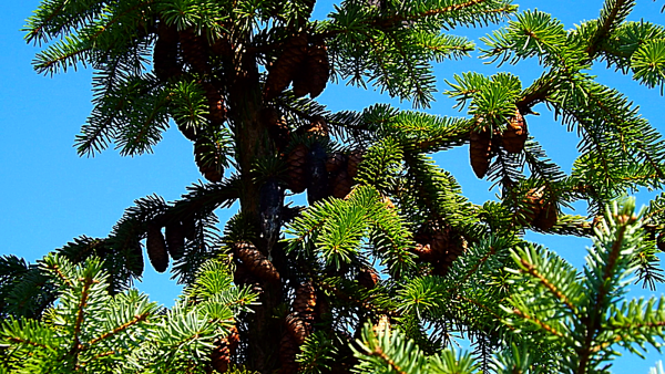 Pine cones ready for a chipmunk snack.<br /> <br /> Photographer's Name: J.R. Rosencrans<br /> Photographer's City and State: Alexandria, Ind.