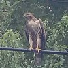 A hawk sitting on telephone wires at Shadyside Lake.<br /> <br /> Photographer's Name: Ed Cates<br /> Photographer's City and State: Anderson, Ind.