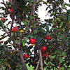 The beginning of the fall bounty: my apple tree in Richland Township.<br /> <br /> Photographer's Name: J.R. Rosencrans<br /> Photographer's City and State: Alexandria, Ind.