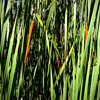 Cat tails, one of the first signs of season change.<br /> <br /> Photographer's Name: J.R. Rosencrans<br /> Photographer's City and State: Alexandria, Ind.