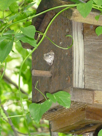 A tree frog has been living in a wren house for a couple of summers.  Spends his day looking out the doorway.<br /> <br /> Photographer's Name: Linda Jones<br /> Photographer's City and State: Anderson, Ind.