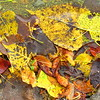 Fallen leaves washed up on the Shadyside Lake shoreline.<br /> <br /> Photographer's Name: Harry Van Noy<br /> Photographer's City and State: Lafayette Township, Ind.