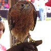 Hawk, shown at the Andersontown Powwow.<br /> <br /> Photographer's Name: Harry Van Noy<br /> Photographer's City and State: Lafayette Township, Ind.