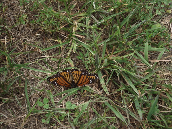 Sunning butterfly.<br /> <br /> Photographer's Name: Bill Johnson<br /> Photographer's City and State: Chesterfield, Ind.