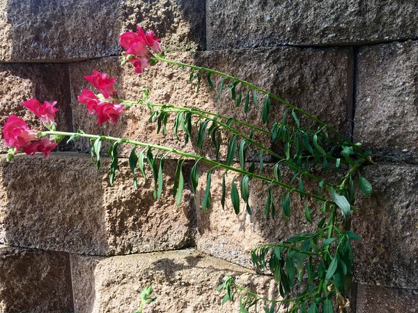 Sweet pea and the cement wall at my farm in Richland Township.<br /> <br /> Photographer's Name: J.R. Rosencrans<br /> Photographer's City and State: Alexandria, Ind.