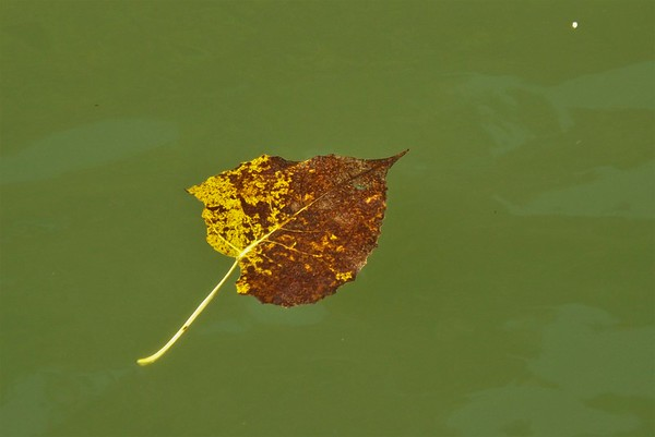 Another one bites the dust...a floating leaf on the White River.<br /> <br /> Photographer's Name: J.R. Rosencrans<br /> Photographer's City and State: Alexandria, Ind.