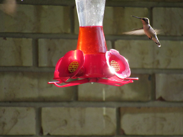 Hummingbird in flight.<br /> <br /> Photographer's Name: Harry Van Noy<br /> Photographer's City and State: Lafayette Township, Ind.