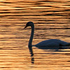 A swan silhouette on Lake James at Pokagon State Park.<br /> <br /> Photographer's Name: Jerry Byard<br /> Photographer's City and State: Anderson, Ind.