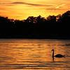 A swan crossing through the golden sunset reflection at Lake James.<br /> <br /> Photographer's Name: Jerry Byard<br /> Photographer's City and State: Anderson, Ind.