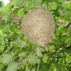 A bald-faced hornet nest in our maple tree.<br /> <br /> Photographer's Name: Rex Rice<br /> Photographer's City and State: Middletown, Ind.