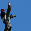 A red-headed woodpecker at Pokagon State Park working on a tree.<br /> <br /> Photographer's Name: Jerry Byard<br /> Photographer's City and State: Anderson, Ind.