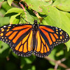 A monarch butterfly sunning itself at Mounds Park.<br /> <br /> Photographer's Name: Jerry Byard<br /> Photographer's City and State: Anderson, Ind.