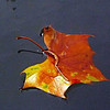 A floating leaf at Shadyside Lake.<br /> <br /> Photographer's Name: J.R. Rosencrans<br /> Photographer's City and State: Alexandria, Ind.